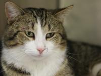 Meet Andy!  Andy is  a sweet male tabby who was brought