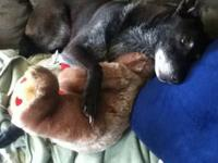 Angel is a 9 year old black lab-german shepard mix,