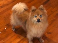 This is angel. She is a 10 year old Pomeranian . She