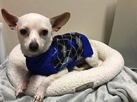 Angel's story Angel is a male chihuahua mix and