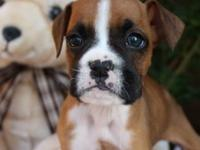 Angel is a Flashy Boxer female. AKC registered. DOB