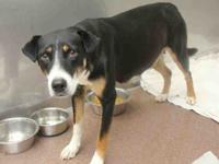 ANGEL (Entlebucher mix) - AVAILABLE! Only $65