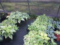 FAT FULL gallon size NAMED varieties of Hostas, some