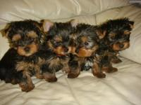 A loyal, affectionate, Teacup Yorkshire Terrier