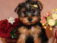 Angelic Yorkie Puppies for your Children now.we do have