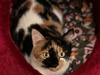 Angelica's story Pretty Young Calico DSH Spayed Female