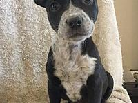 Angelou's story Angelou is an 8 week old mixed breed!