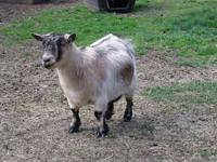 Angora goats produce Mohair! Great childrens pets! 4H,