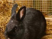 Angora Rabbit - Marshall - Small - Baby - Male -