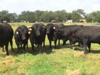 "4 - Registered Angus Bulls, ""FOR SALE""... prices"