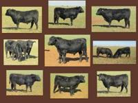 Black Angus bulls for sale--16-18 months old. Good