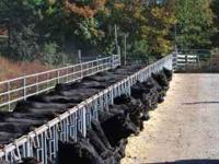 10th Annual Huckleberry Bred Cow Sale. December 3,