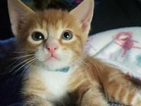 Angus's story Meowwwww!!! My name is Angus. I am a DSH