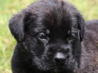 We have an AKC dark brindle male English Mastiff puppy,