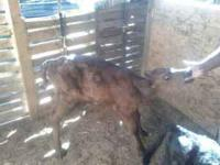 Angus X bull calf weighs about 125. Doing very well