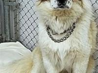 Aniston's story Breed: Great Pyrenees mix Age: 1 year