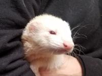 Anita is looking for a forever home as a single ferret.