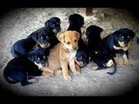 Anna's story I am one of the black/tan puppies. I just