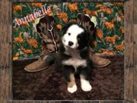 Raised ASDR Toy/ Mini Aussie Puppies. Annabelle ~ Mini