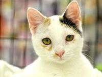 My story This gorgeous white calico is as pretty inside