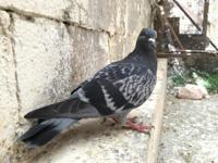 Annabelle is a very shy, spooky, one-eyed Rock pigeon