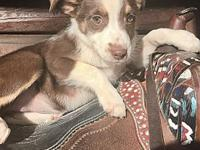 My story Annie is a 10 week old red and white Aussie.