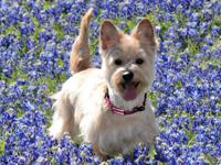 Annie is a fun Wheaten colored Cairn Terrier! She has a