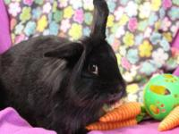 Annie is a lovable young lionhead-lop mix. Her story