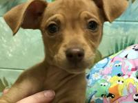I am a female Min Pin/Chihuahua mix puppy.  I am about