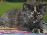 "Persian kittens, purebred: ""Annie"", pretty doll-face"