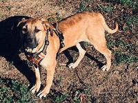 My story Courtesy post-Annie is a Black Mouth Cur,