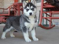Another Quality Siberian Husky Puppies  For Sale