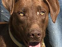 Anthony's story Anthony, is a Chocolate Lab mi about 1