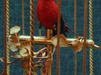 This lovely red bird sits on his perch and sings the