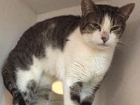 Antoinette is a 7 yr old white and brown tabby cat.