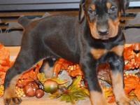 Anubis is a black/rust male by Jr. World Winner Semper
