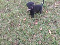 9 week old black lab last one of the litter! Looking