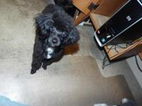 Dob 6/2015. Clyde is black poodle TOY weigh 4.5 pounds.