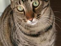 Apache is a super sweet and loving Tabby, who came to