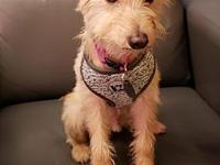 Apallo's story Apallo is a Carin Terrier mix about 1.5