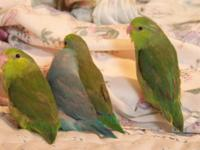 2 female Green Pacific Parrotlets, 12 weeks old,