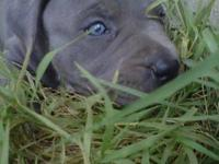 APBR registered purebred blue pit bull puppies. Razor's