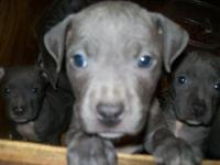 Description Blue Pit Bull Puppies 4 males, 1 female.