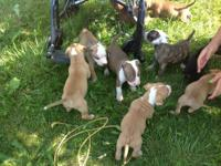 Puppies ready to go July 13th with first shots and