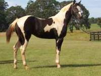 Beautiful registered 3 year old Black and White Paint