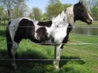 BEAUTIFUL APHA STALLION. NOW IS THE TIME FOR YOU TO