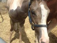 i have a 6 month old stud colt. he is APHA registered