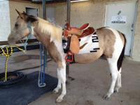 APHA Registered Buckskin Tobiano Stud Colt Coming 2 in
