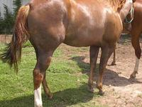 """Koolie"" yearling, sorrel,blaze,3 socks.APHA Sire is"