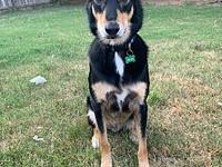 My story Apollo is a 1 1/2 year old german/aussie